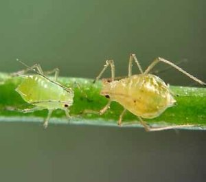 Gli insetti che mangiamo inconsapevolmente